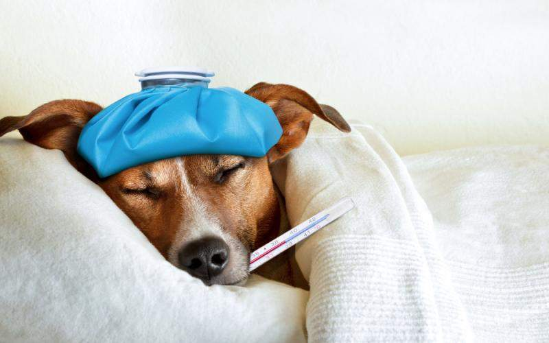 Dog with fever